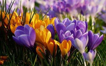 krokusy-wiosna